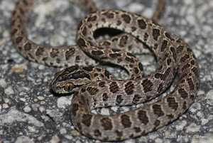 Kevin Caldwell Many-spotted Cat Snake Boiga multomaculata