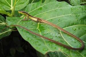 Long-tailed Grass Lizard Takydromus sexlineatus