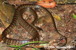Kevin Messenger hong kong Ptyas mucosus oriental rat snake