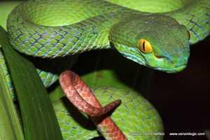 Big-eyed Pit Viper Kramer's Large-eyed Pit Viper Trimeresurus macrops