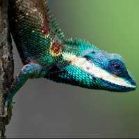 blue lizard thumbnail