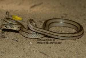 striped kukri snake Oligodon taeniatus Michael Cota Rangsit_files