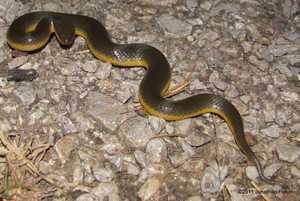 Yellow-bellied Water Snake Hypsiscopus plumbea Enhydris phayao thailand