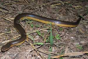 yellow-bellied water snake Hypsiscopus plumbea enhydris thailand
