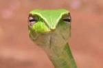 long-nosed whip snake thumbnail