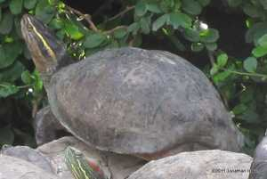 Southeast Asian Box Turtle Cuora amboinensis