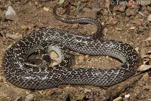 Tom Charlton Common Wolf Snake Komodo Island