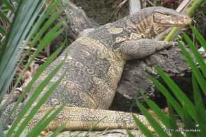an ode to asian water monitors in bangkok thailand