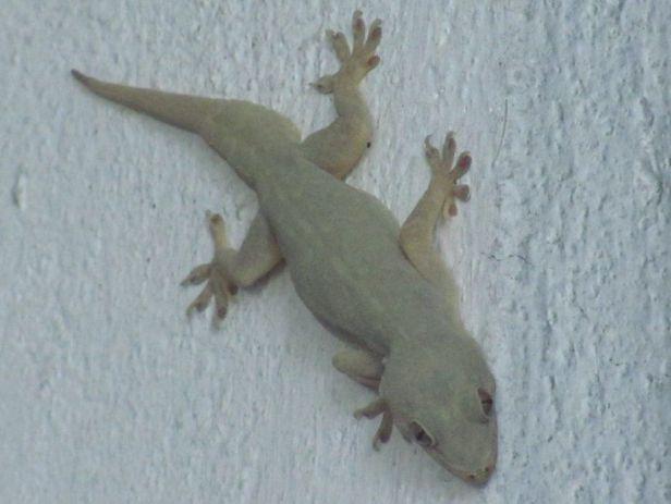 Yellow-Green House Gecko (Hemidactylus flaviviridis) kolkata india