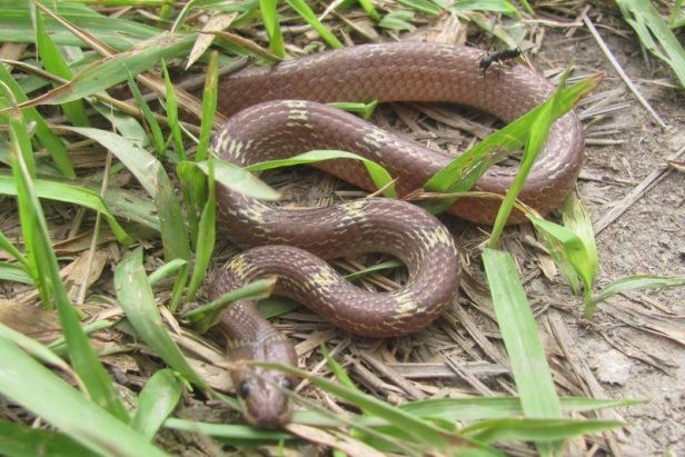 Indian Wolf Snake (Lycodon aulicus) kolkata india