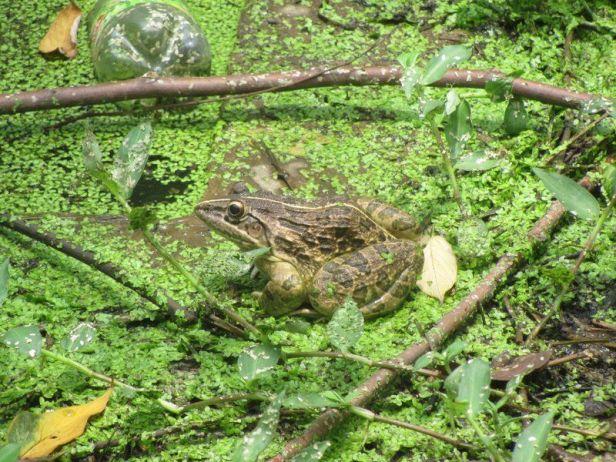 Indian Bullfrog (Hoplobatrachus tigerinus)  kolkata india