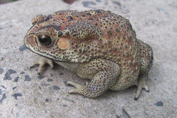 Common Indian Toad (Duttaphrynus melanostictus) kolkata india