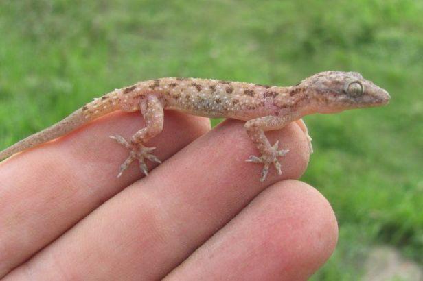 Kushmore House Gecko (Hemidactylus kushmorensis) kolkata india