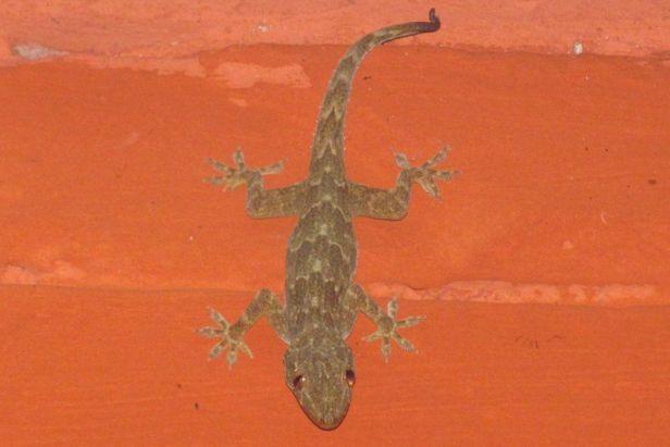 Bark Gecko (Hemidactylus leschenaulti) kolkata india