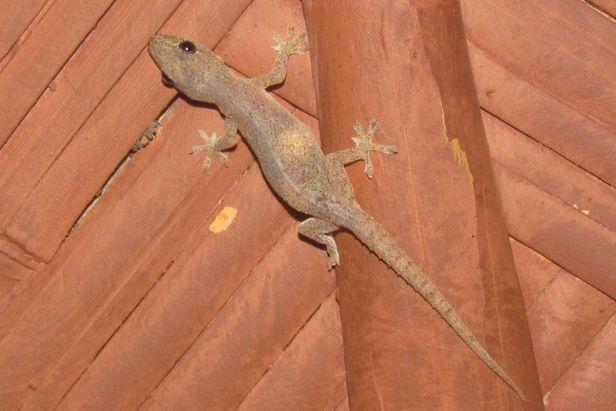 Spiny-tail House Gecko (Hemidactylus frenatus)  kolkata india