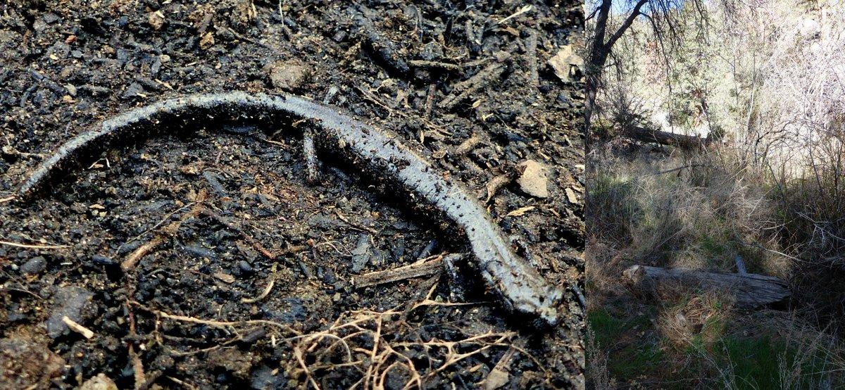 Kern Plateau Salamander (Batrachoseps robustus) in a dry year