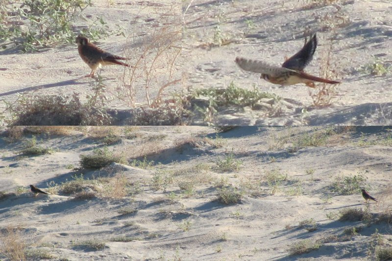 american kestrels hunting in the sand dunes for endangered lizards