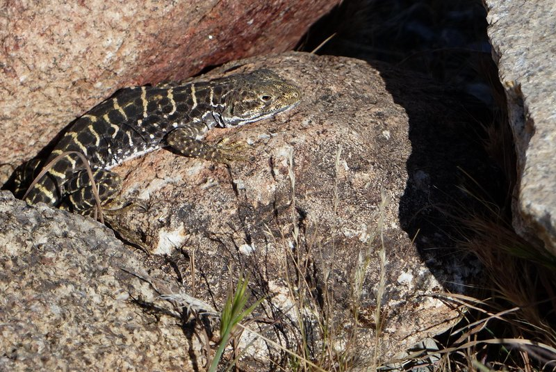 lot lizard A Longnose Leopard Lizard (Gambelia wislizenii) in front of the desert tortoise research natural area interpretive center