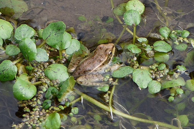 Lowland Leopard Frog (Lithobates yavapaiensis) in arizona stream