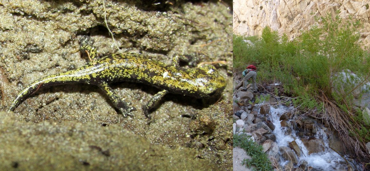 Mt. Lyell Salamanders (Hydromantes platycephalus) at the edge of snowmelt streams running off the east side of the Sierra Nevadas matt dagrosa