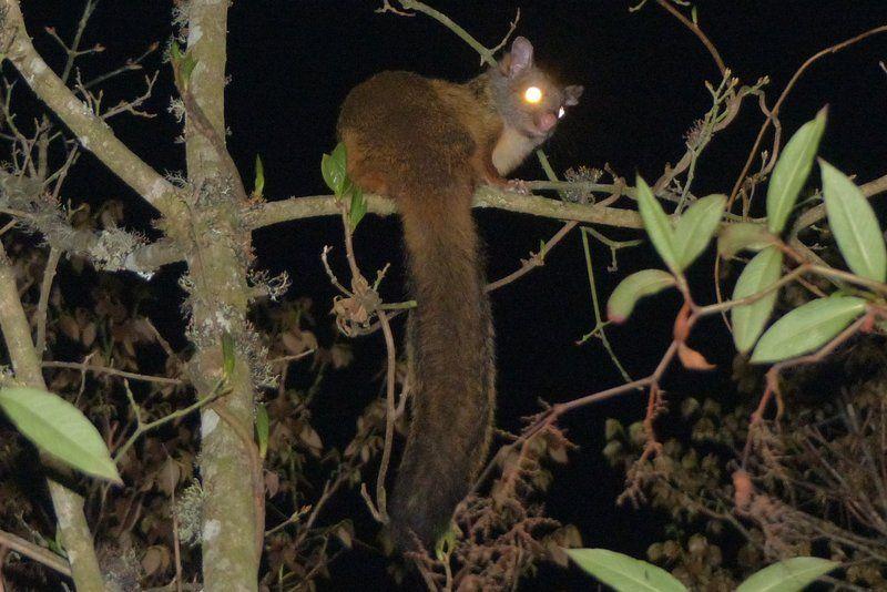 Grey-headed Flying Squirrel Petaurista elegans