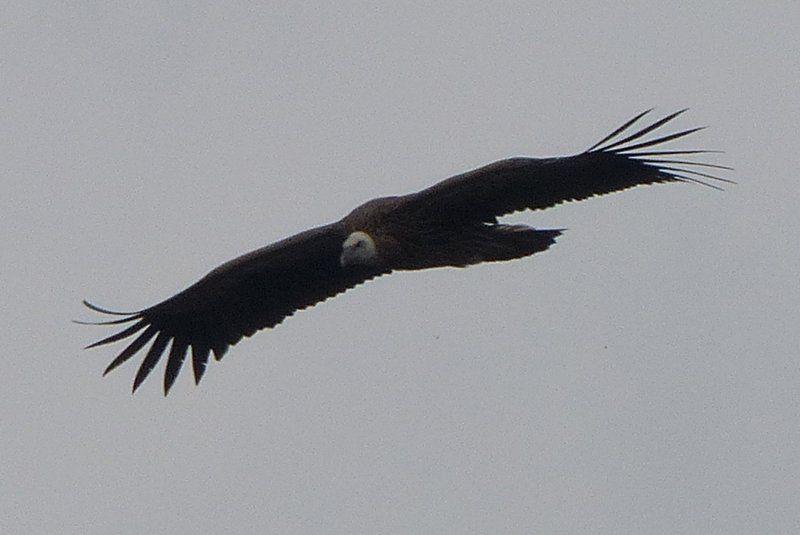 Eurasian Griffin (Gyps fulvus) in Tonglu