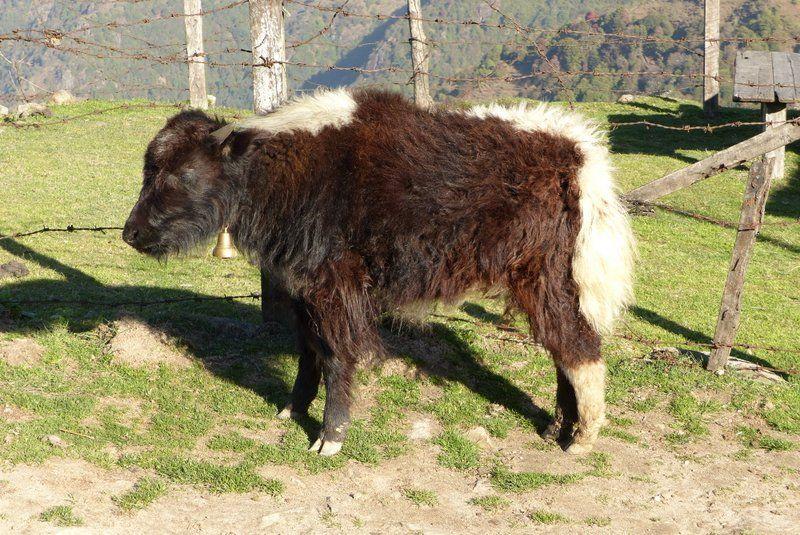 Baby yak in Kaliphokhri