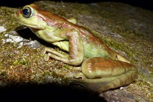 Mountain Cascade Frog (Amolops monticola) in the Singalila Forest of West Bengal