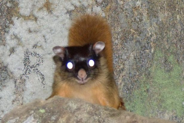 Hodgson's Flying Squirrel Petaurista magnificus in Singalila Forest, West Bengal near Shrikhola