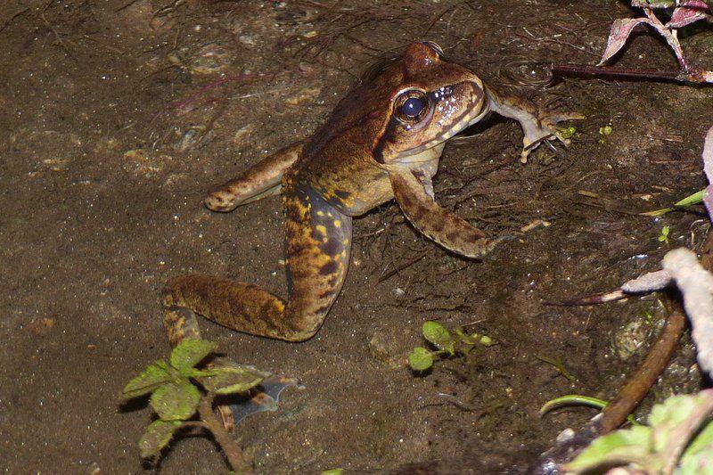 Himalayan Paa Frog (Nanorana vicina)