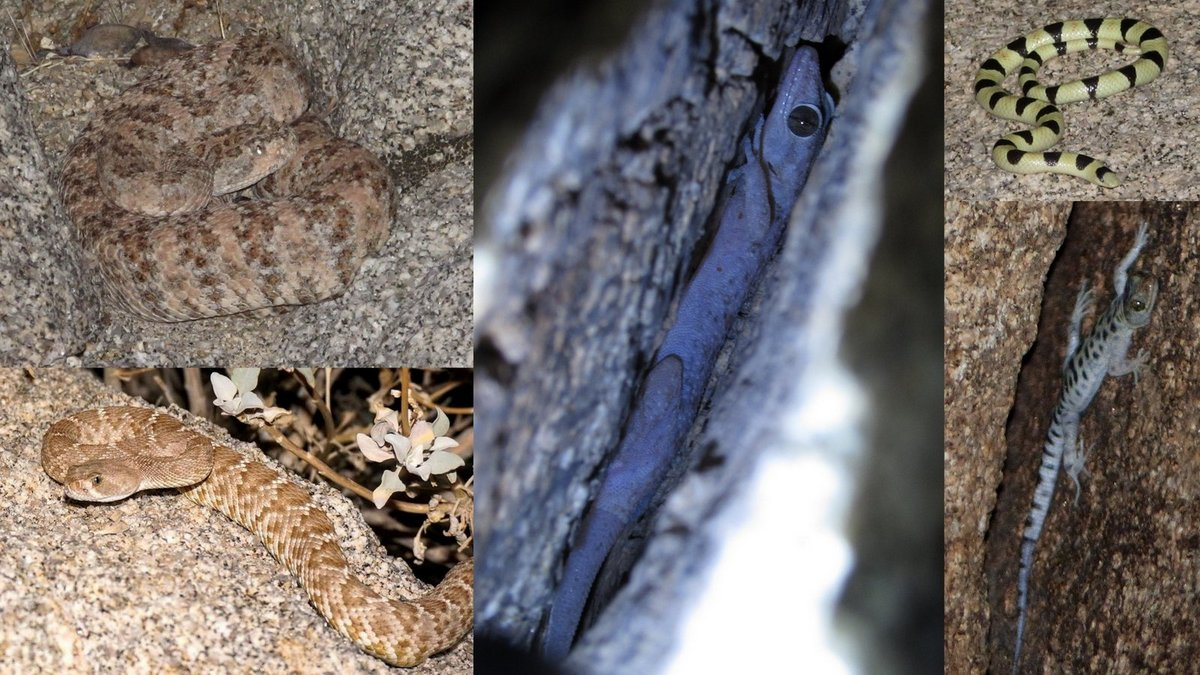 In a rocky canyon west of the agriculture, one productive night with our friend Jeff Nordland yielded Speckled Rattlesnake, Red Diamond Rattlesnake, Leaf-toed Gecko, Colorado Desert Shovelnose Snake, and Granite Night Lizard