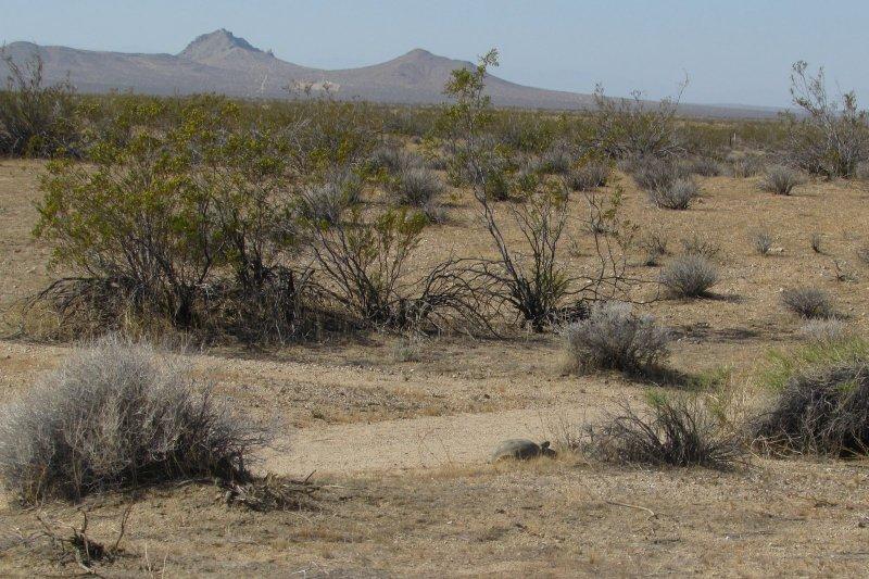 Mojave Desert Tortoise Gopherus agassizii in desert tortoise natural research area California