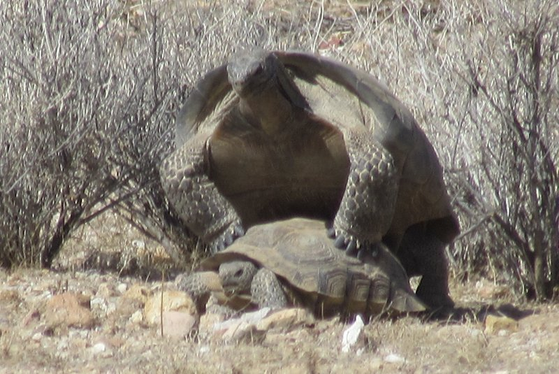 Mojave Desert Tortoises Gopherus agassizii mating at the desert tortoise natural research area