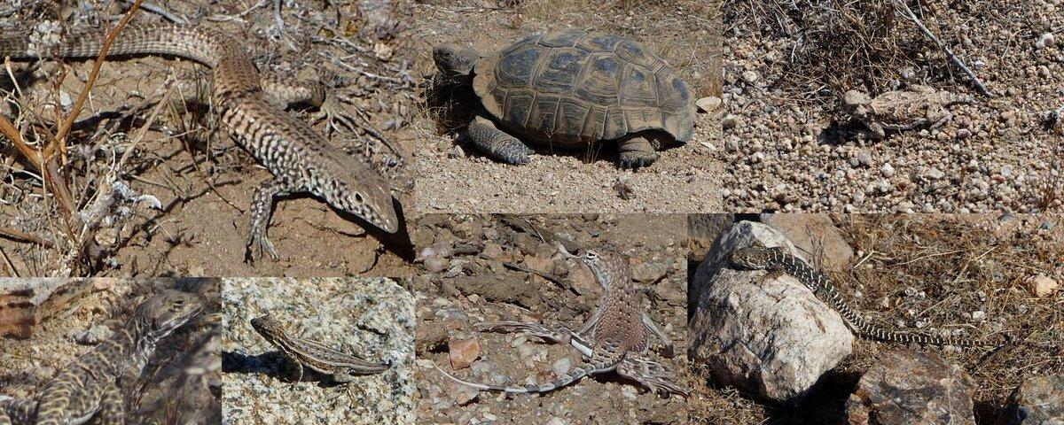great basin whiptail mojave desert tortoise desert horned lizard longnose leopard lizard side-blotched lizard zebratail lizard at desert tortoise natural research area
