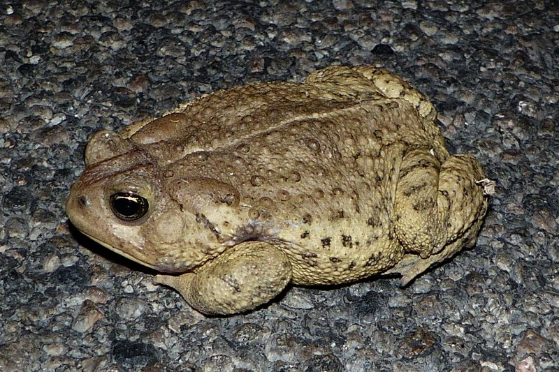 Woodhouse's Toad (Anaxyrus woodhousii) hopping across a city road near the Salton Sea