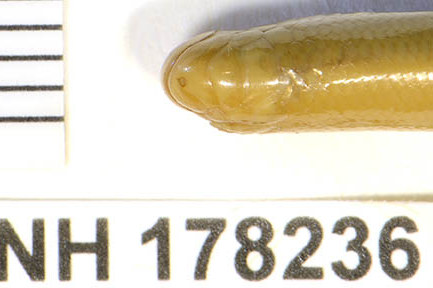 Trang Blind Snake Typhlops trangensis Argyrophis Thailand FMNH 178236