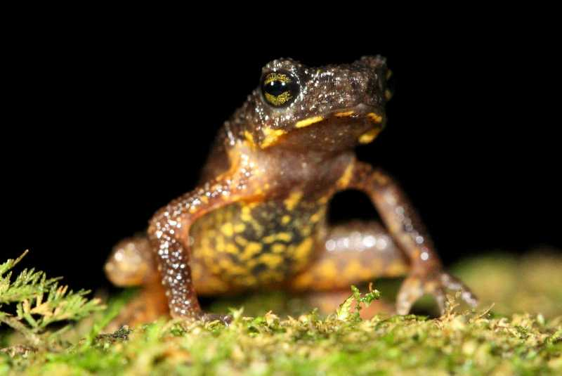 ansonia inthanon stream toad Benjamin Tapley