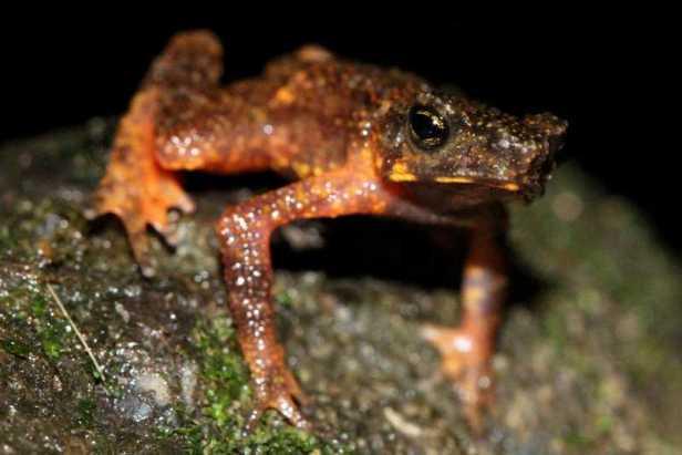 ansonia inthanon stream toad © Benjamin Tapley