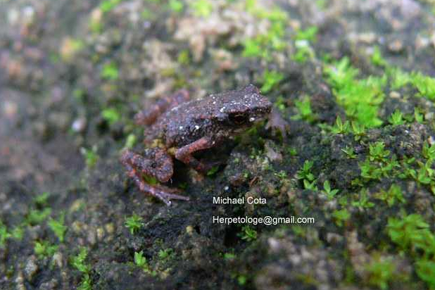 ansonia inthanon stream toad © Michael Cota