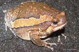 Asian Painted Frogs Kaloula pulchra bangkok thailand banded bullfrog