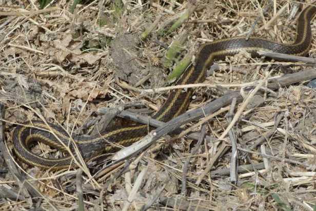 giant garter snake thamnophis gigas california