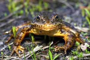 sierra nevada yellow-legged frog frogs of the frozen reaches california waters jon hakim