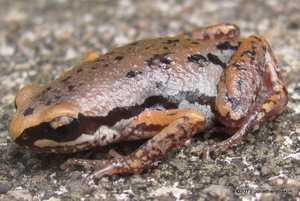 Inornate Chorus Frog Microhyla inornata bangkok thailand froglet