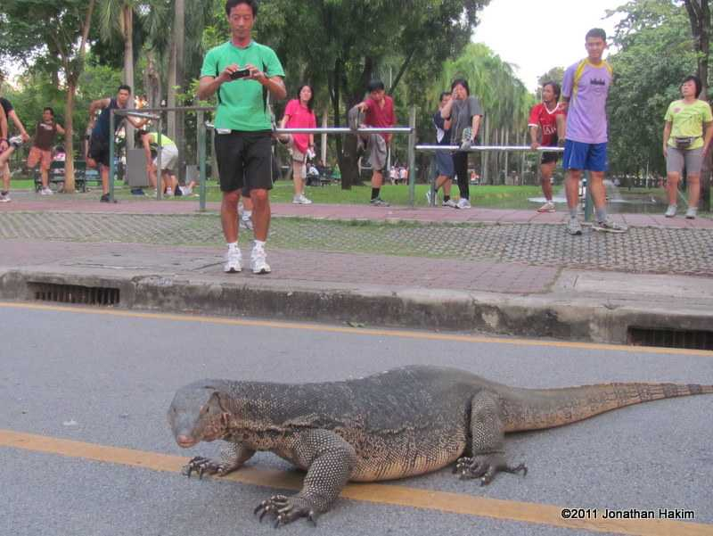 asian water monitor with exercisers at lumphini park