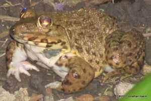 Taiwanese Frog Hoplobatrachus rugulosus chinese edible frog bangkok thailand
