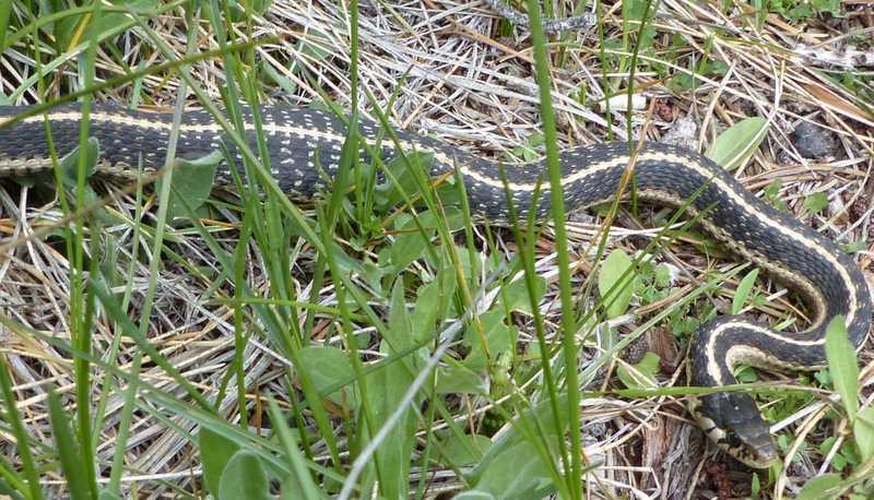 Mountain Garter Snakes (Thamnophis elegans elegans)