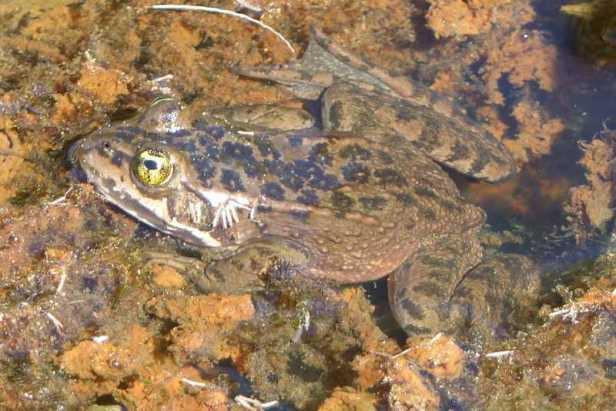 oregon spotted frog rana pretiosa