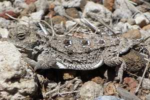 pygmy short-horned lizard california waters what can be restored jon hakim