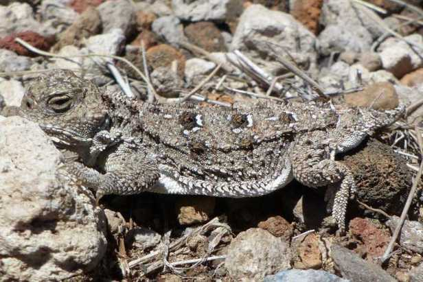 Pygmy Short-horned Lizard (Phrynosoma douglasii) california