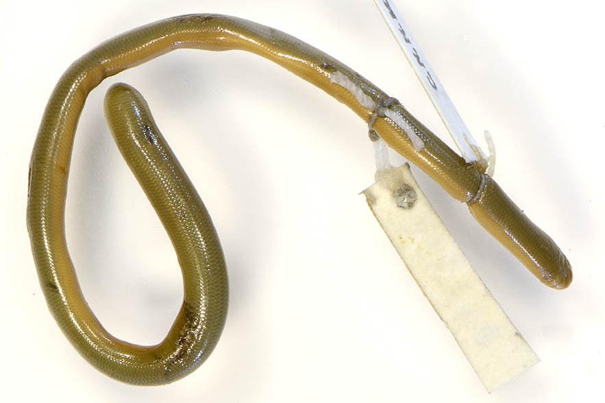 Trang Blind Snake Typhlops trangensis Argyrophis Thailand FMNH 178236 งูดินตรัง Ngu-din Trang